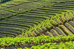 Organicznie truskawkowa plantacja Tajlandzcy plemiona Fotografia Royalty Free
