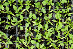 Organicznie uprawiać ziemię, sadzonkowy dorośnięcie w szklarni Zdjęcie Stock