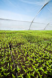 Organicznie uprawiać ziemię, sadzonkowy dorośnięcie w szklarni Zdjęcia Stock
