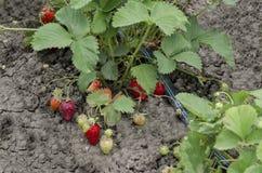 Organicznie uprawiać ziemię truskawka i technologia dla irygaci z kropli wodą w jarzynowym ogródzie Obrazy Royalty Free