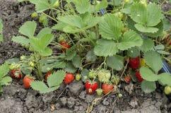 Organicznie uprawiać ziemię truskawka i technologia dla irygaci z kropli wodą w jarzynowym ogródzie Fotografia Stock
