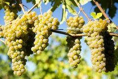 Organicznie Viognier Okanagan Gronowa dolina Obrazy Royalty Free
