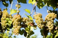 Organicznie Viognier Okanagan Gronowa dolina Fotografia Royalty Free