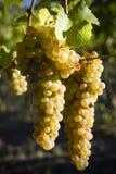 Organicznie Viognier winogrona Fotografia Royalty Free