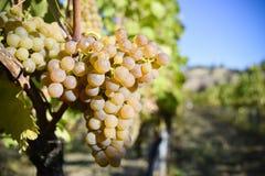 Organicznie Viognier winogrona Zdjęcie Stock