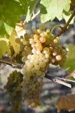 Organicznie Viognier winogrona Obrazy Stock