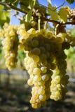 Organicznie Viognier winogrona Obrazy Royalty Free