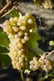 Organicznie Viognier winogrona Zdjęcia Stock