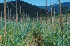 Organicznie Walijskiej cebuli plantacja obraz royalty free