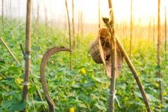 Organicznie warzywa, Zamykają w górę Zielonego ogórka na gospodarstwie rolnym, Organicznie V Obraz Royalty Free