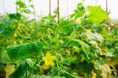 Organicznie warzywa, Zamykają w górę Zielonego ogórka na gospodarstwie rolnym, Organicznie V Zdjęcie Stock