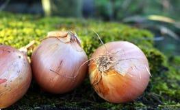Organicznie warzywa, zdrowy jedzenie, świezi warzywa i składniki na stole w drewnie, Organicznie cebule na drewnianym Fotografia Royalty Free