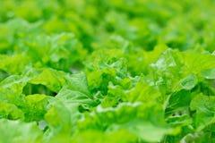 Organicznie warzywa, zieleni obfitolistni warzywa Obrazy Stock