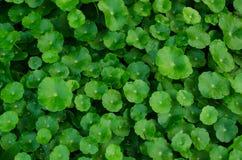 Organicznie warzywo zieleń Fotografia Royalty Free