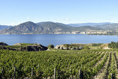 Organicznie winnicy Naramata Okanagan doliny kolumbiowie brytyjska Zdjęcie Stock