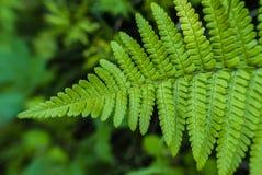 Organicznie wzór paprociowa roślina Obraz Royalty Free