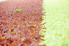 Organicznie zielenie w cieplarni Zdjęcie Royalty Free