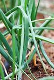 organicznie zielone cebule Obrazy Royalty Free