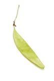 Organicznie zielony sheesham ki indianina, fali Rosewood lub; Dalbergia sissoo& x29; nasieniodajny strąk zdjęcia royalty free