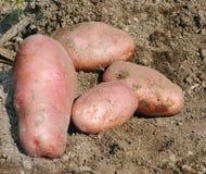 organicznych ziemniaków zdjęcia stock