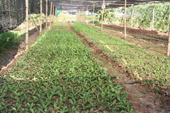 Organique, agriculture, ferme, riz, agriculteurs thaïlandais, alatus de Dipterocarpus Photographie stock