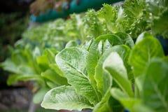 Organique frais vert Photographie stock libre de droits