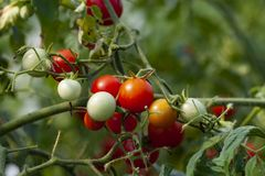 Organisch Cherry Tomato Farming stock afbeeldingen