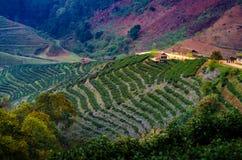 Organisch de Theelandbouwbedrijf 2000 Doi Ang Khang Chiang Mai Thailand van het theelandbouwbedrijf in de ochtend stock foto's