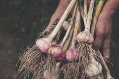 Organisch die knoflook bij ecologisch landbouwbedrijf in farmer& x27 wordt verzameld; s handen Royalty-vrije Stock Foto's