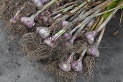 Organisch die knoflook bij ecologisch landbouwbedrijf op rustiek hout wordt verzameld Royalty-vrije Stock Foto's
