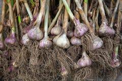 Organisch die knoflook bij ecologisch landbouwbedrijf op rustiek hout wordt verzameld Royalty-vrije Stock Fotografie