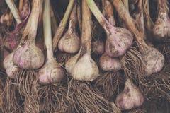 Organisch die knoflook bij ecologisch landbouwbedrijf op rustiek hout wordt verzameld Royalty-vrije Stock Afbeeldingen