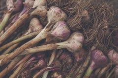 Organisch die knoflook bij ecologisch landbouwbedrijf op rustiek hout wordt verzameld Royalty-vrije Stock Foto