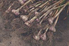 Organisch die knoflook bij ecologisch landbouwbedrijf op rustiek hout wordt verzameld Stock Fotografie