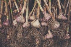 Organisch die knoflook bij ecologisch landbouwbedrijf op rustiek hout wordt verzameld Stock Afbeelding