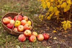 Organisch fruit in tuin Stock Foto's