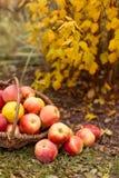Organisch fruit in tuin Royalty-vrije Stock Afbeelding