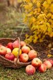 Organisch fruit in tuin Royalty-vrije Stock Foto's