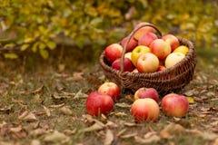 Organisch fruit in tuin Royalty-vrije Stock Afbeeldingen
