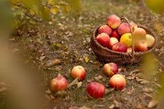 Organisch fruit in tuin Stock Fotografie