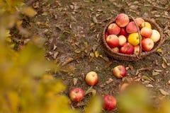 Organisch fruit in tuin Stock Afbeeldingen