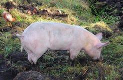 Organisch gehaltenes Schwein Stockfotos