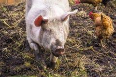 Organisch gehaltenes Schwein Stockbild