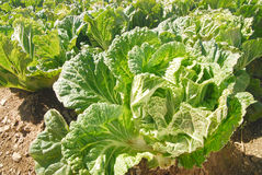 Organisch Gemüsebauernhof, Grün, frisch, frei. Stockbild