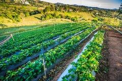 Organisch groen plantaardig landbouwbedrijf in het ochtendzonlicht stock foto's