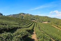 Organisch groen theelandbouwbedrijf Stock Fotografie