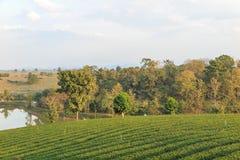 Organisch groen theelandbouwbedrijf Stock Afbeelding