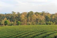 Organisch groen theelandbouwbedrijf Royalty-vrije Stock Afbeeldingen