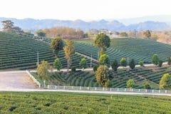 Organisch groen theelandbouwbedrijf Royalty-vrije Stock Afbeelding