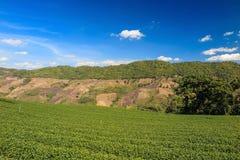 Organisch groen theelandbouwbedrijf Royalty-vrije Stock Foto's
